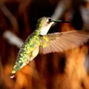 Img_4625 - Ruby-throated Hummingbird Poster