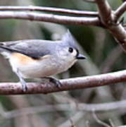 Img_4672 - Tufted Titmouse Poster