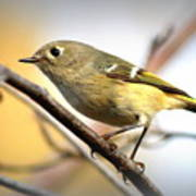 Img_5993 - Ruby-crowned Kinglet Poster