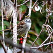 Img_6624-002 - White-throated Sparrow Poster