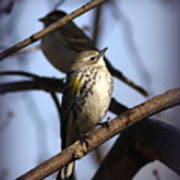 Img_9896 - Yellow-rumped Warbler Poster