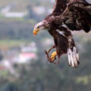 Immature Bald Eagle Landing Poster