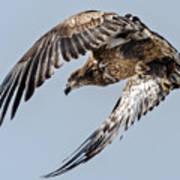 Immature Bald Eagle Leaving A Perch Poster