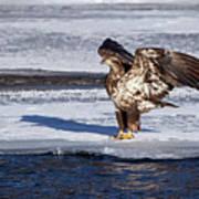 Immature Eagle On Ice Poster