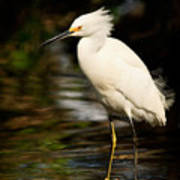Immature Snowy Egret Poster