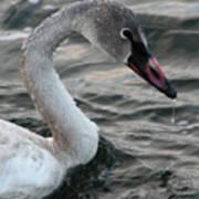 Immature Swan Poster