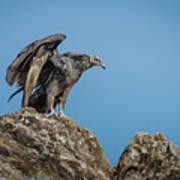 Immature Turkey Vulture 3 Poster