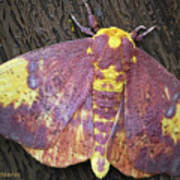Imperial Moth Poster