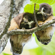 Impossibly Cute Owl Fledglings Poster