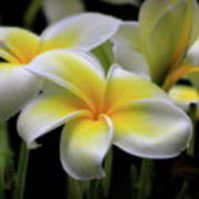 In Love With Butterflies Plumeria Flower Cecil B Day Butterfly Center Art Poster