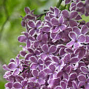 In The Garden. Lilac Poster