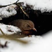 In The Shelder. Eurasian Blackbird Poster