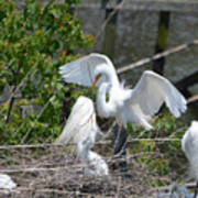 In The Wild White Snowy Egrets Photography ....photo A Poster