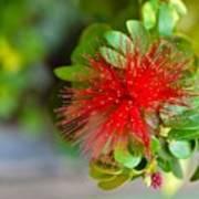 Indian Bottlebrush Flower Poster