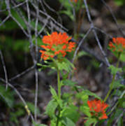 Indian Paint Brush 2 Poster