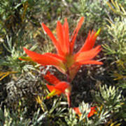 Indian Paintbrush And California Sage Poster