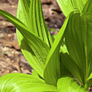 Indian Poke -veratrum Veride- Poster
