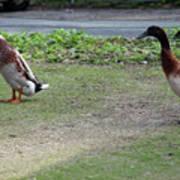 Indian Runner Ducks Poster