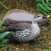 Indian Spot-billed Duck Poster
