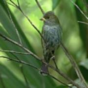Indigo Bunting - Felts Nature Preserve - Ellenton Florida Poster