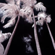 Infrared Palm Trees Poster