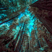 Infrared Redwood Poster