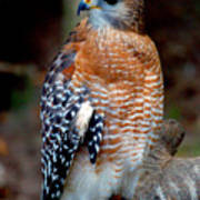 Inquisitive Red Tailed Female Hawk Poster