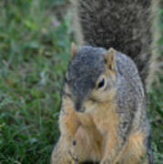 Inquisitive Squirrel Poster