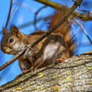 Inquisitive Squirrel Poster
