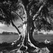 Intercoastal Pine Poster