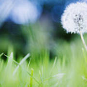 Ireland, County Westmeath, Dandelion In Meadow Poster