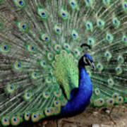 Iridescent Blue-green Peacock Poster
