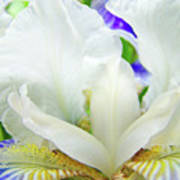Iris Flower Art Print White Blue Purple Irises Baslee Troutman Poster