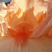 Iris Flower Art Prints Sunlit Orange Irises Baslee Troutman Poster