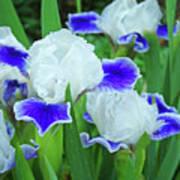 Iris Flowers Art Prints Blue White Irises Floral Baslee Troutman Poster