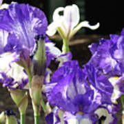 Iris Flowers Floral Art Prints Purple Irises Baslee Troutman Poster