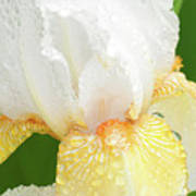Iris In The Rain II Poster
