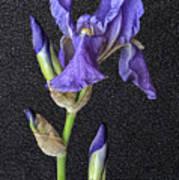 Iris On Black Leather Poster