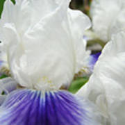 Irises Flowers Art Print Gifts White Purple Iris Flower Poster
