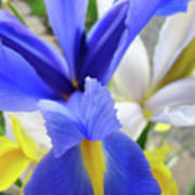 Irises Flowers Artwork Blue Purple Iris Flowers 1 Botanical Floral Garden Baslee Troutman Poster