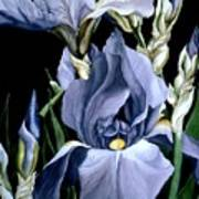 Irises In Blue Poster