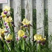 Irises On A Pickett Fence Poster