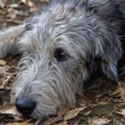 Irish Wolfhound Ivan Poster
