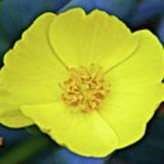 Island Bush Poppy In Rancho Santa Ana Botanic Garden In Claremont-california  Poster