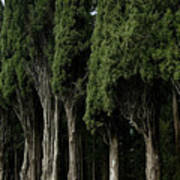 Italian Cypress Trees Line A Road Poster