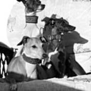 Italian Greyhounds In Black And White Poster