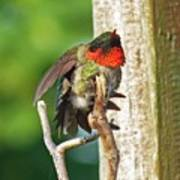 I've Got An Itch - Ruby-throated Hummingbird Poster