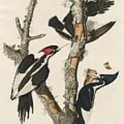 Ivory-billed Woodpecker Poster