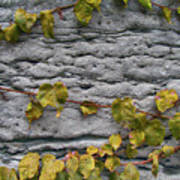 Ivy And Ancient Wall In Old Montreal Hd Photography Poster