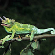 Jacksons Chameleon On Branch Poster by Dave Fleetham - Printscapes
